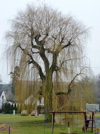 Kácení stromu Řisuty